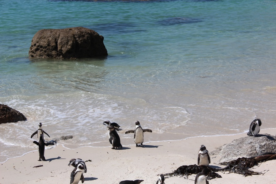 Penguins at The Cape of Good Hope