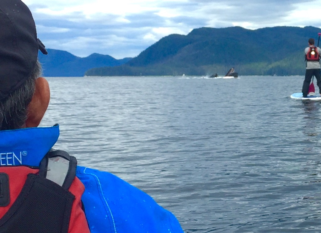 Chasing Humpbacks by kayak- Uncruise, Alaska