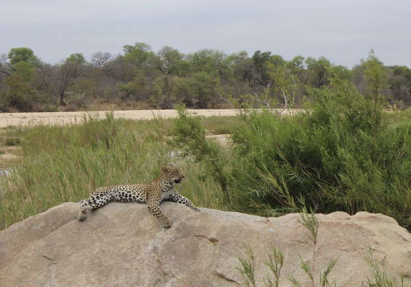 Leopard on a Rock-on safari at Kirkmans Camp